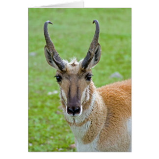 Pronghorn Face Note Card