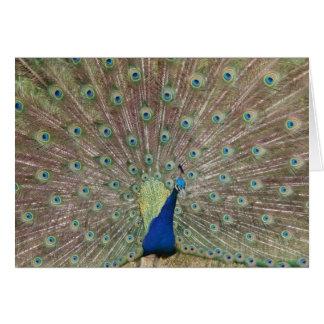 Proud Peacock Card