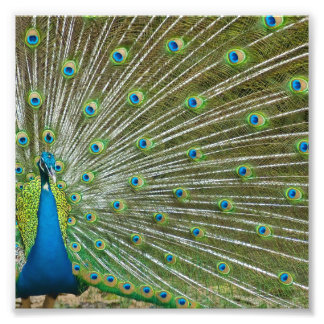 Proud Peacock Feathers Photo Print