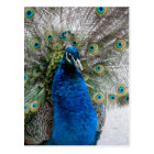 Proud peacock postcard