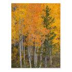 Provo River and aspen trees 7 Postcard