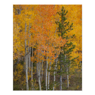 Provo River and aspen trees 7 Poster