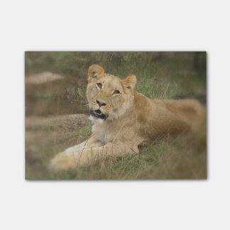 Prowling Lion Post-it Notes