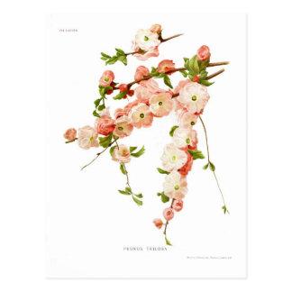 Prunus triloba (flowering almond) postcard