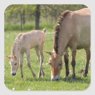 Przewalski's Horse and foal grazing Square Sticker