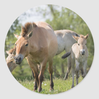 Przewalski's Horse and foal walking Classic Round Sticker