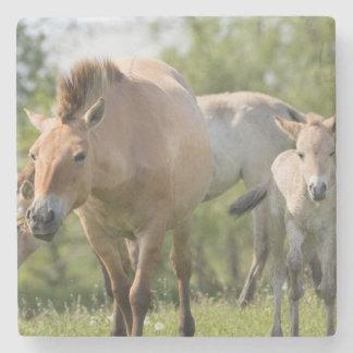 Przewalski's Horse and foal walking Stone Coaster