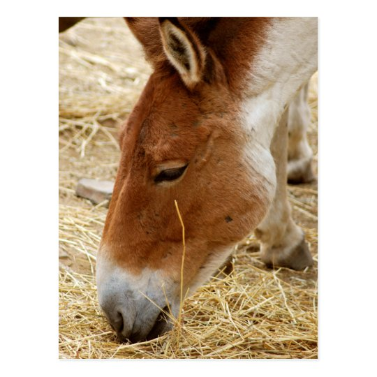 Przewalski's Horse Postcard