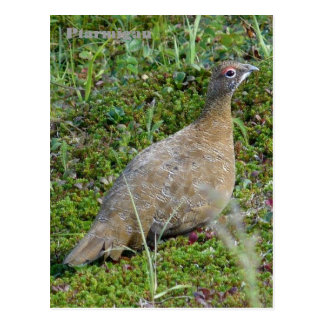Ptarmigan in Summer, Unalaska Island Postcard