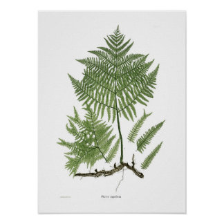 Pteridium aquilinum print