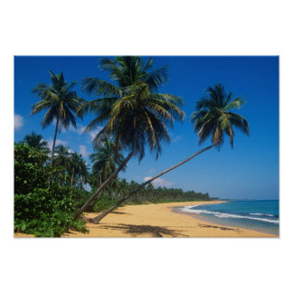 Puerto Rico, Isla Verde, palm trees. Poster
