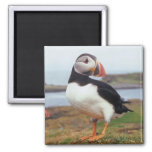 Puffin Perched Fridge Magnet