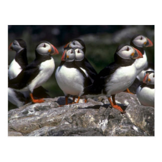 Puffins, Fratercula artica Postcard