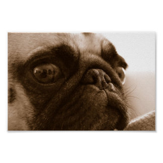 Pug in Sepia Poster