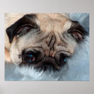 Pug Pug ~ photo Jean Louis Glineur Poster