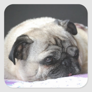 Pug pug - Photography: Jean Louis Glineur Square Sticker