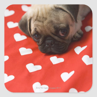 Pug puppy lying on bed, close up square sticker