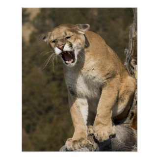 Puma or mountain lion, puma concolor, Captive - Poster
