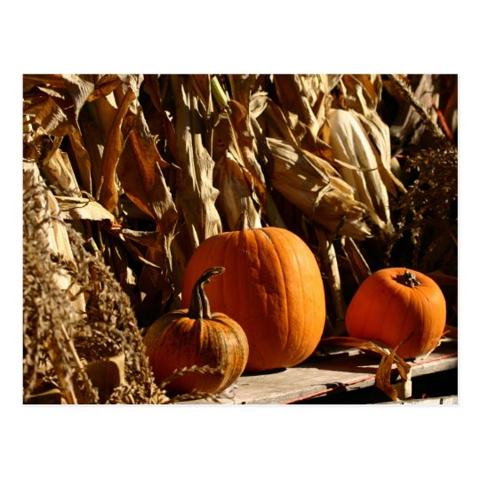 Pumpkins and Corn Postcard