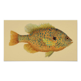 Pumpkinseed Sunfish on Color Background Poster