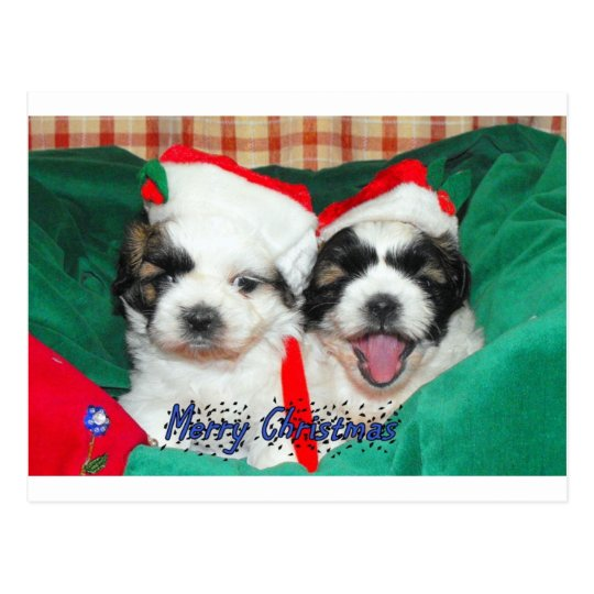 Puppies Christmas card ( shih-tzu's)