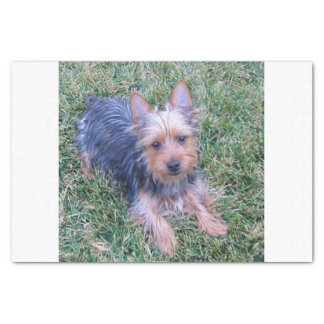puppy australian silky terrier laying tissue paper