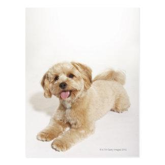 Puppy (Canis familiaris) 2 Postcard