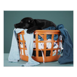 Puppy lying in laundry basket poster