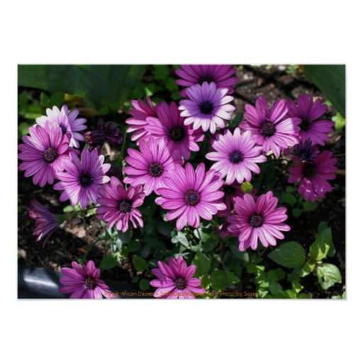 Purple African Daisies Flower Photography Poster