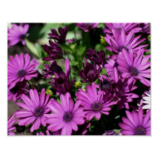 Purple African Daisies Flower Poster