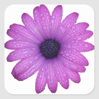 Purple African Daisy with Raindrops Isolated Square Sticker