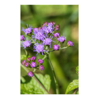 Purple Ageratum Wildflowers Stationery