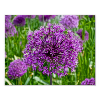 Purple Allium, Poster