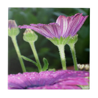 Purple And Pink Daisy Flower in Full Bloom Ceramic Tile