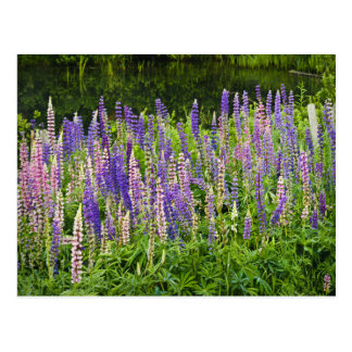 Purple and Pink Lupine Photograph Postcard