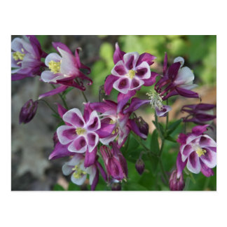 Purple And White Columbine Postcard