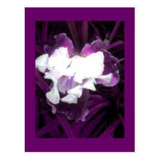 Purple and White Iris Postcard