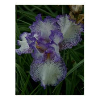 Purple and White Iris Postcard
