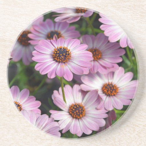 Purple and white osteospermum flowers beverage coasters