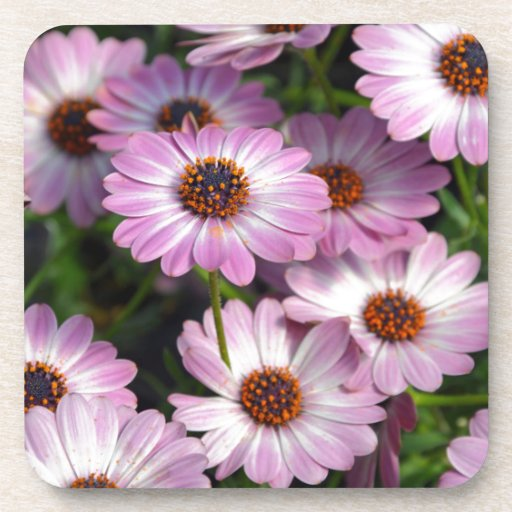 Purple and white osteospermum flowers drink coasters