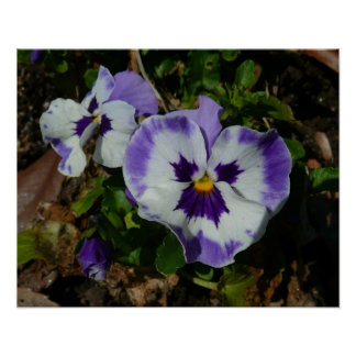 Purple and White Pansies Colorful Floral Poster