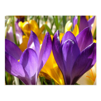 Purple And Yellow Crocus Flowers Postcard