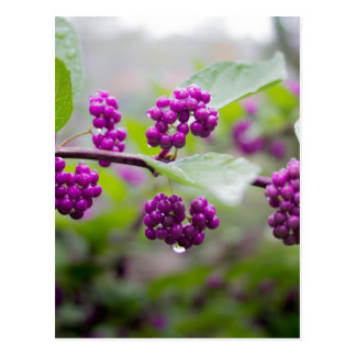 Purple Berries Postcard