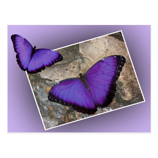 Purple Butterflies Post Cards