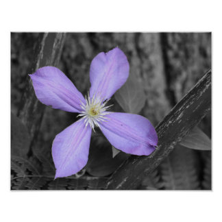 Purple Clematis Black And White Flower Poster
