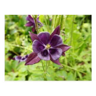 Purple Columbine Postcard