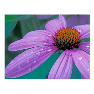 Purple Cone flower with water drops Postcard