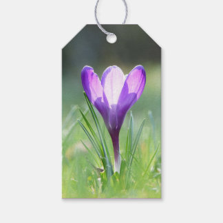 Purple Crocus in spring 03.3
