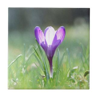 Purple Crocus in spring 03.3 Ceramic Tile