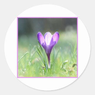 Purple Crocus in spring 03.3 Classic Round Sticker